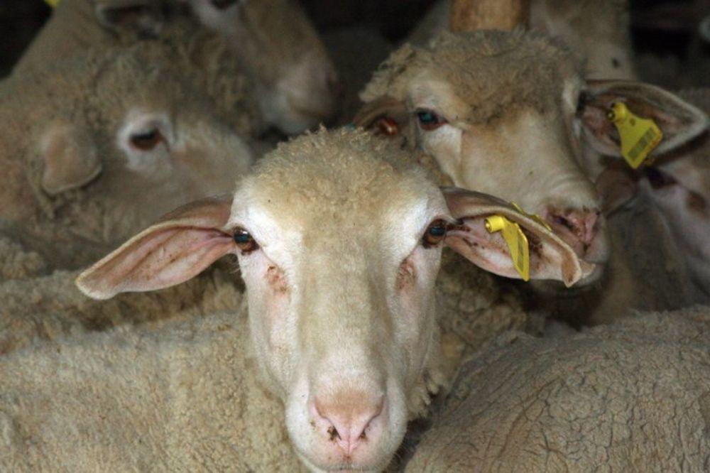 UMISLILI DA SU VUCI: Psi lutalice zaklali 5 ovaca kod Kraljeva