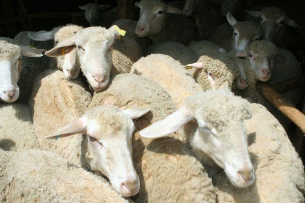 Čopor vukova zaklao ovce kod Kuršumlije