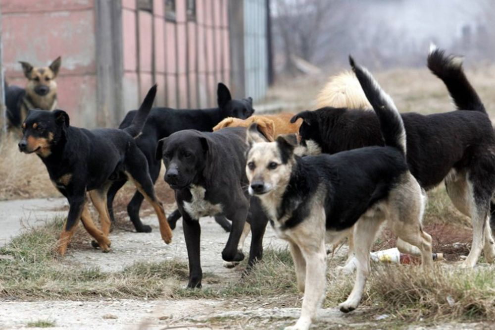 psi, lutalice, Borča,