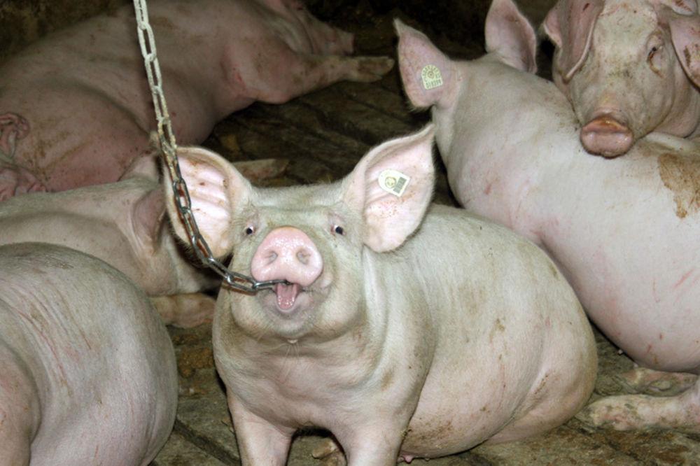 srem, cena, prasići, svinja