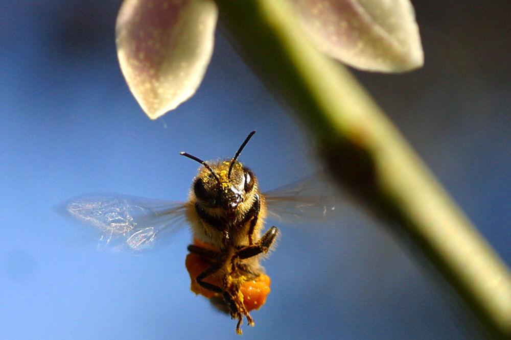 prijepolje, pčela, ujed, prijepolje