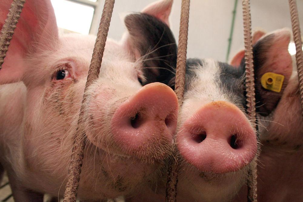 ZBOG RUSKOG EMBARGA: Austrijski svinjari u panici, cena mesa pada iz dana u dan!