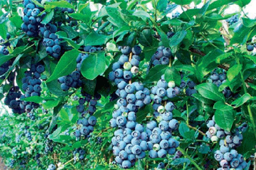 borovnica, srbija, plantaže