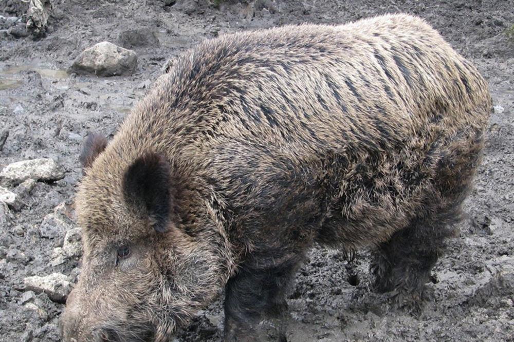 Mopedom naleteo na divlju svinju