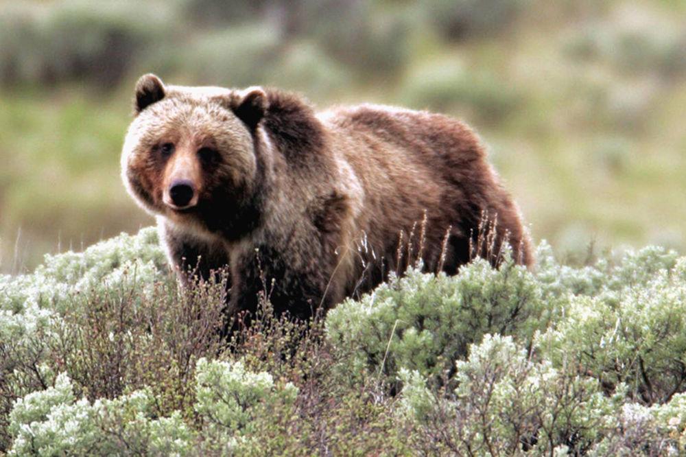 Lovac preživeo napad grizlija i metak spasioca