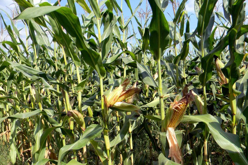 SUŠA DESETKUJE USEVE: Rod krompira i kukuruza slabiji 20 odsto