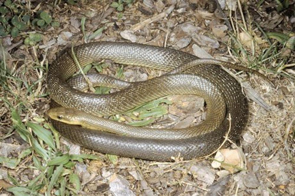 Ljudi šta je ovo na srbiju krenule zmije i crni skakavci