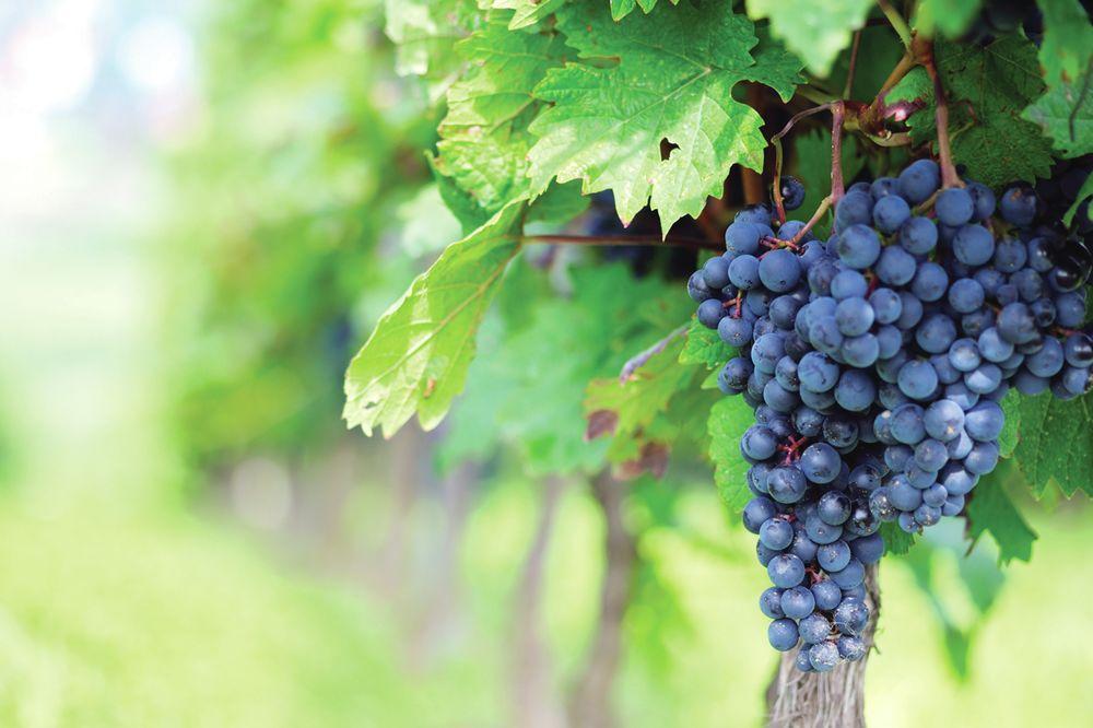 grozdje, vino,