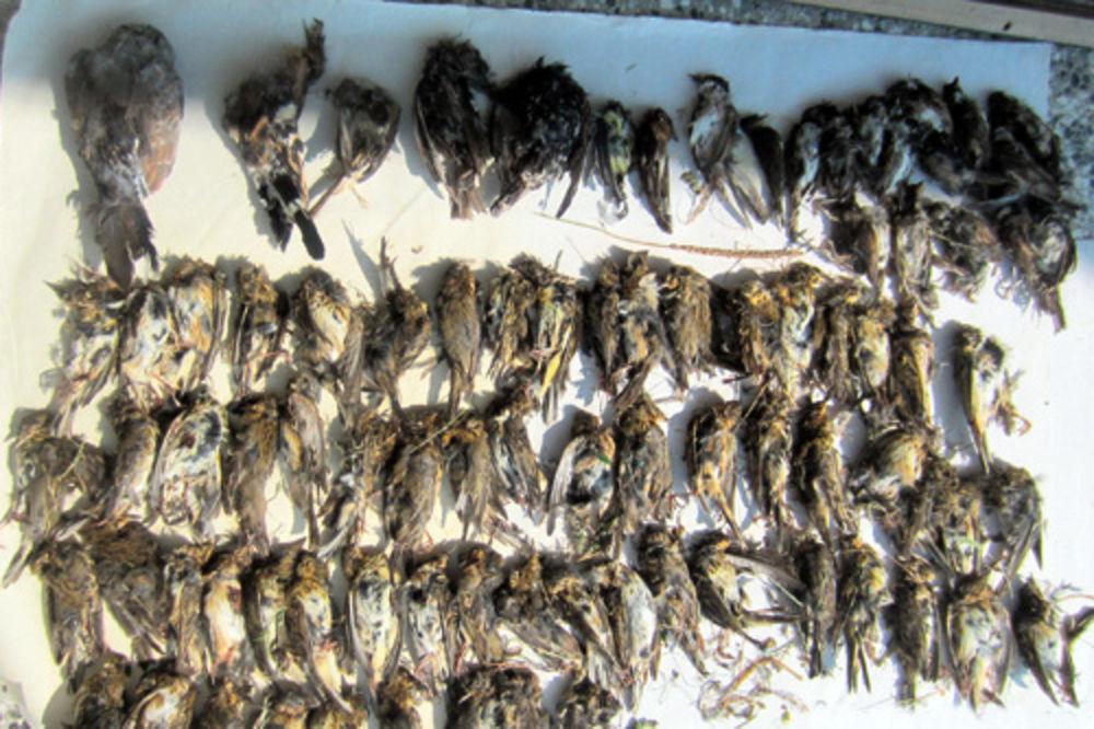 ubistvo životinja, ptice, ugrožena vrsta, bujanovac,