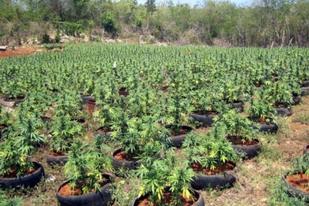 Polje marihuane u Raskueri