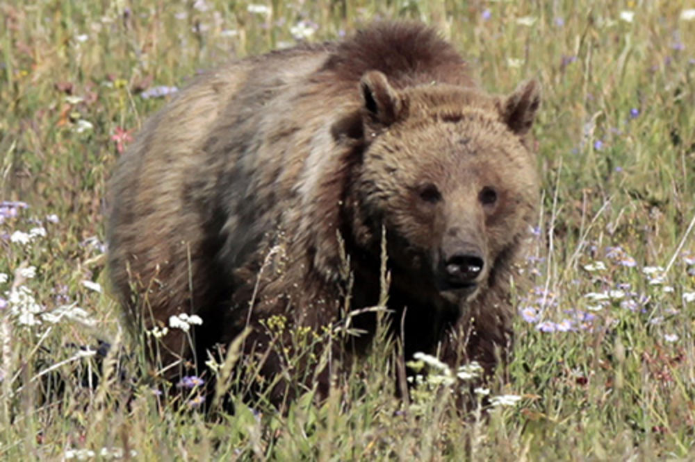 SAOBRAĆAJKA U HRVATSKOJ: Srbin dačijom ubio medveda!