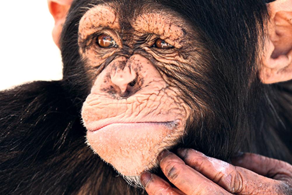 MAJMUN RADI ŠTO MAJMUN VIDI: Sud u Njujorku razmatra da li su šimpanze osobe?!