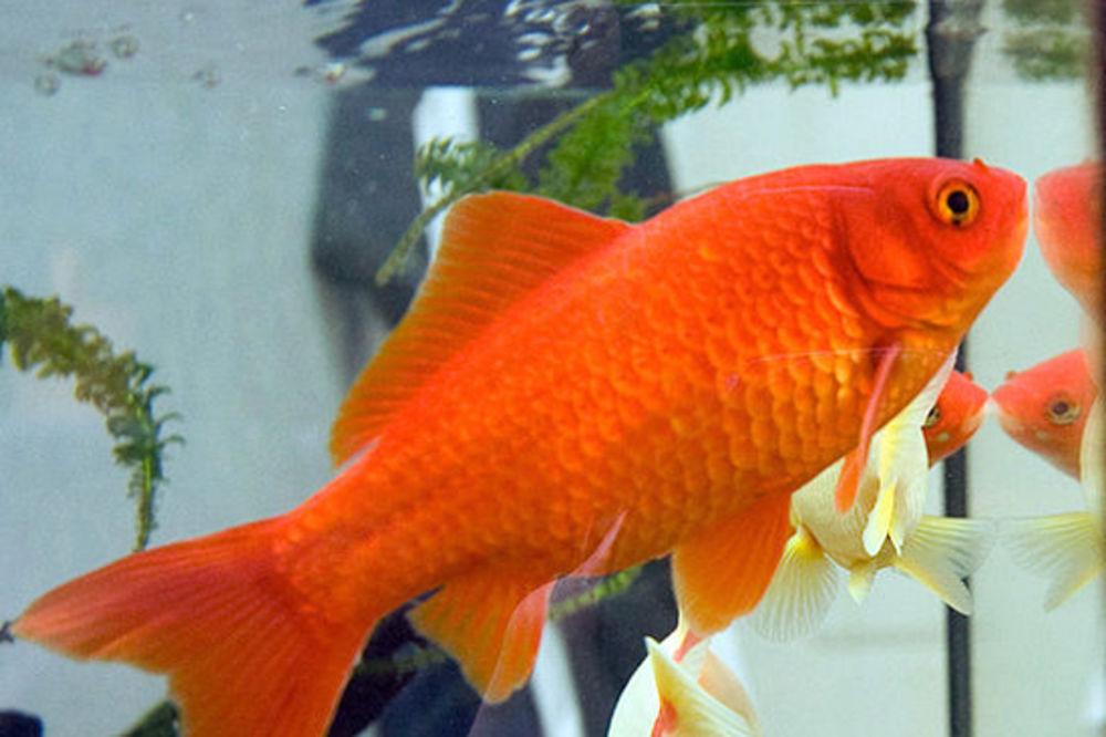 DA, I TO JE MOGUĆE: Zlatna ribica uspešno operisana od tumora na mozgu