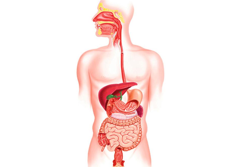 Unutrasnji Organi Stomak Unutrašnji Organi