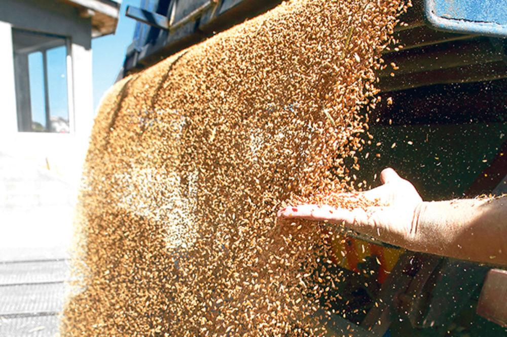 PREDLOG PRIVREDNE KOMORE: Robne rezerve da otkupe 100.000 tona pšenice po 20 din za kilogram
