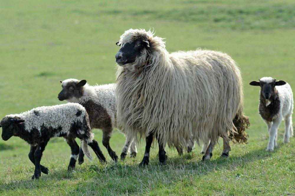 NAPASLE SE: Ovce pojele 5.000 evra vrednu marihuanu!