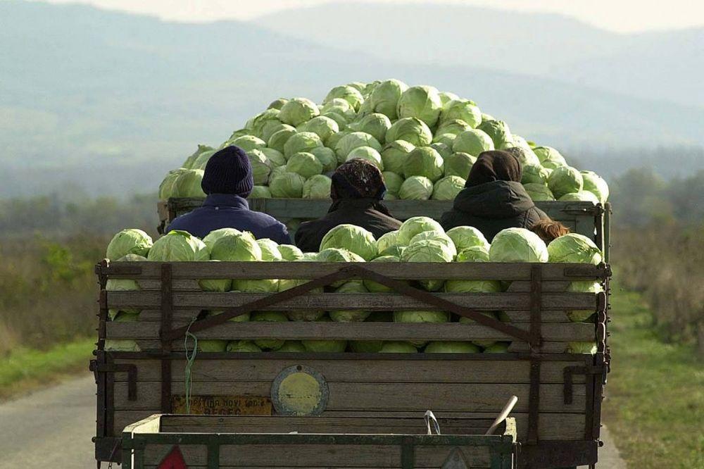 PRODAVALI NA PIJACI: Leskovčani sa njiva ukrali 3,5 tona kupusa i 1.000 strukova praziluka