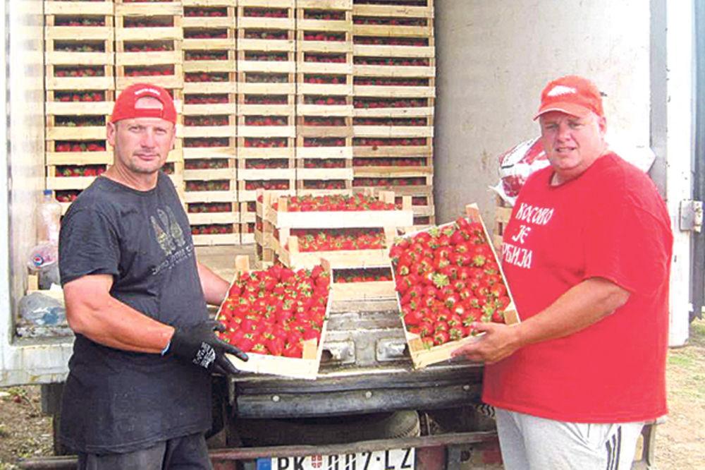 USPEŠNI: Svakog dana uberu pet tona jagoda