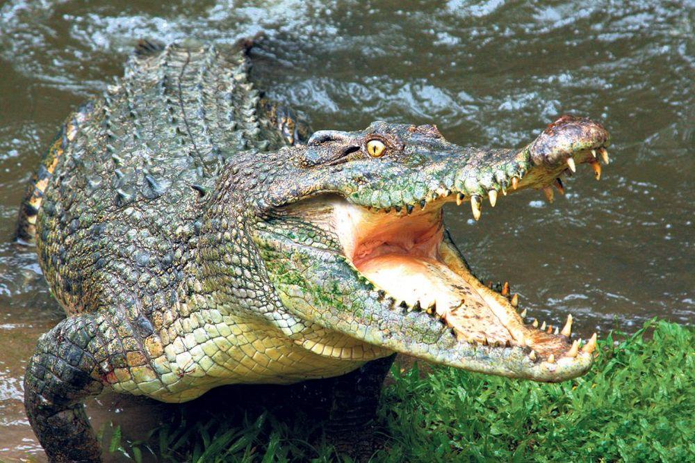 AUSTRALIJA: Krokodil ubio pecaroša dok je otpetljavao udicu!