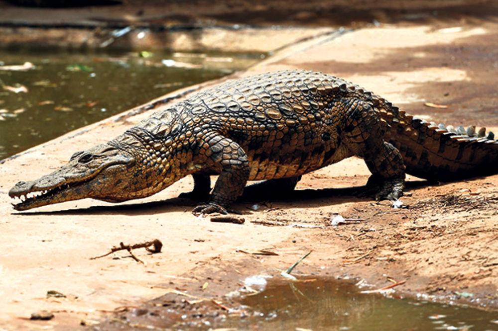 Kako je pijani lovac savladao džinovskog krokodila?