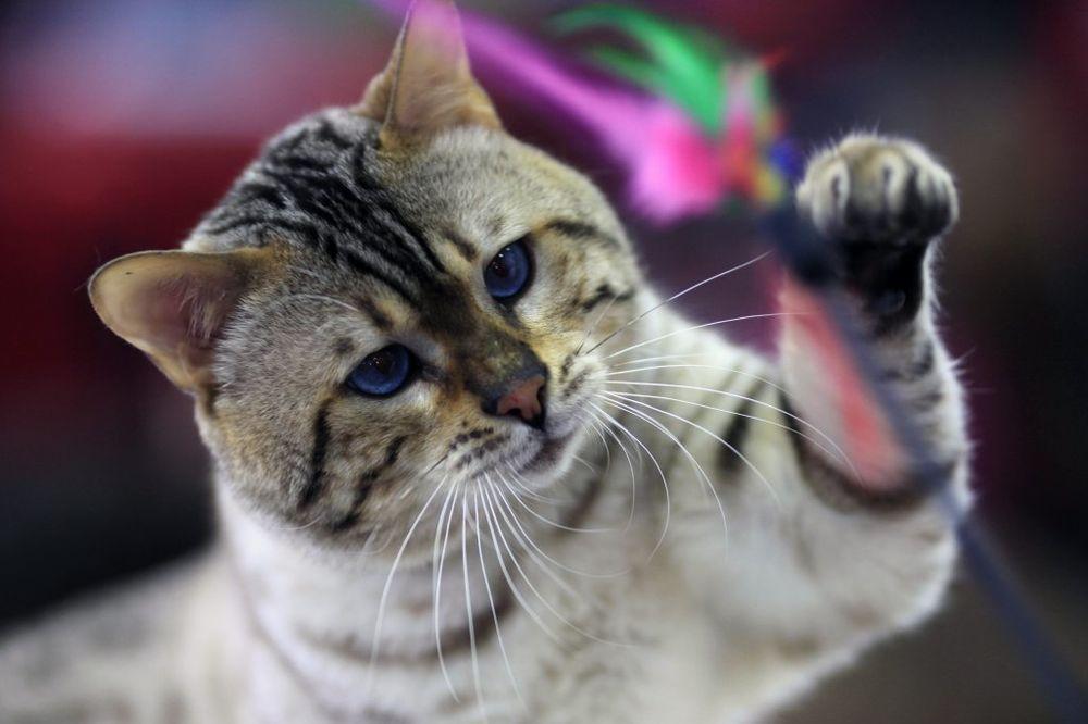 8 RAZLOGA: Zašto nam se mačke raduju kada dođemo kući?