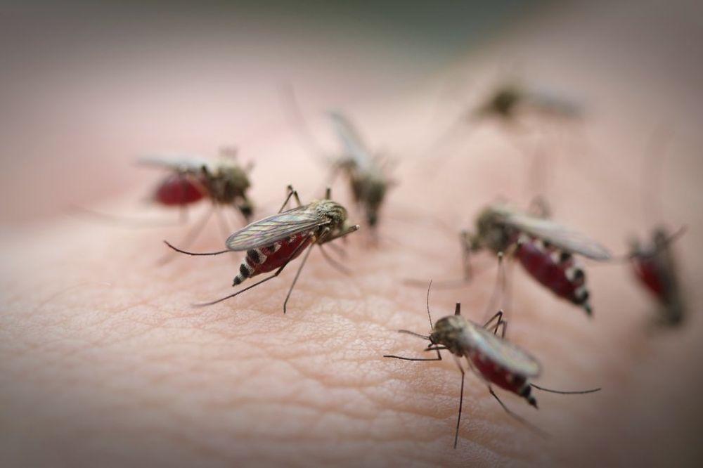 PANČEVO NA MUKAMA: 20 puta više komaraca od dozvoljenog broja!