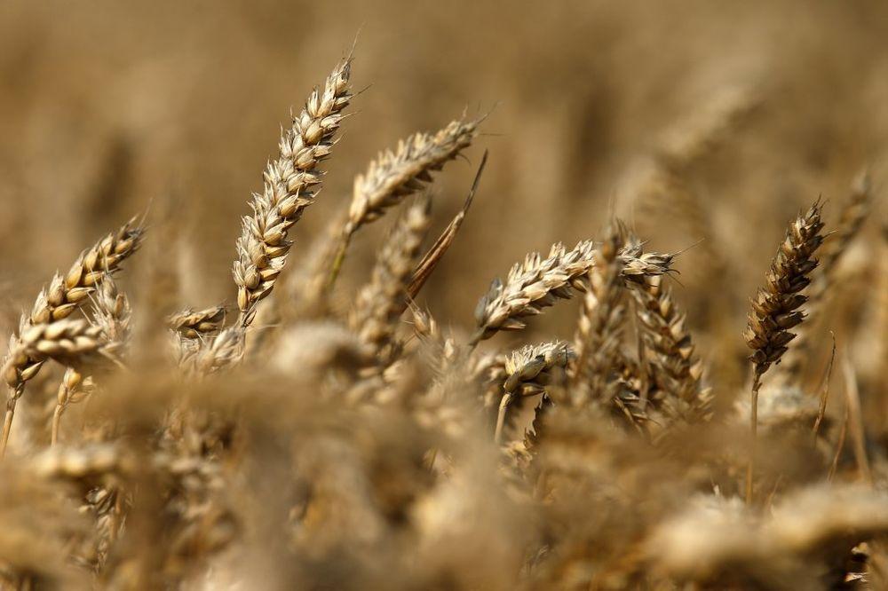 DEJLI TELEGRAF: Sankcije Rusiji mogu da podignu cene žita