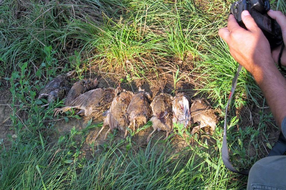 TROVAČI SE NE PLAŠE NI DRŽAVE, NI KAZNE: Lovočuvar pronašao 5 otrovanih ptica grabljivica