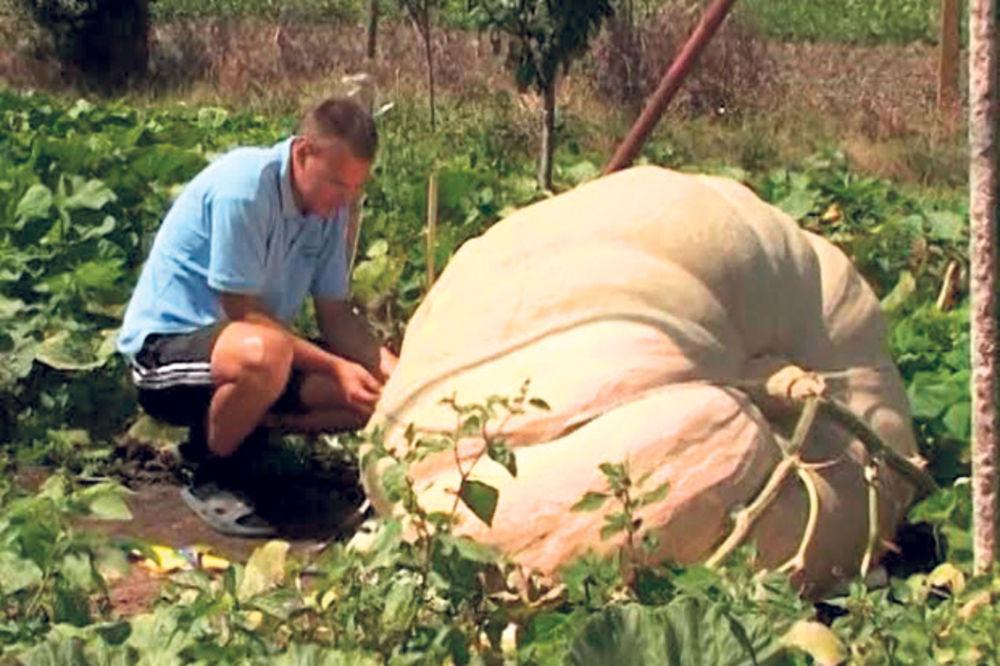 ČUDO: Odgajio bundevu od 300 kilograma