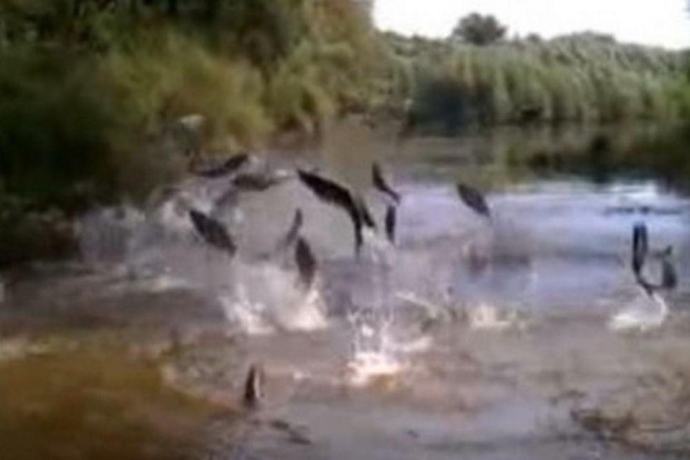 PANIKA NA RECI DRAVI: Leteće ribe napadaju, same uskaču u čamac!