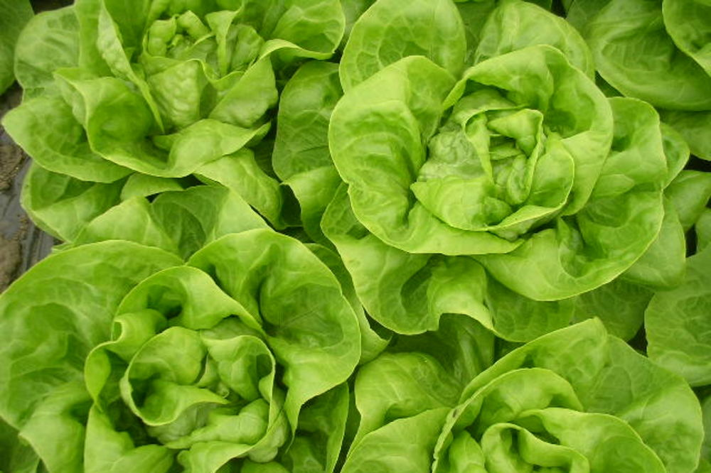 Pravo vreme za jesenju proizvodnju salate
