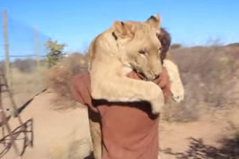 ZAGRLJAJ OPASAN PO ŽIVOT: Lav skočio na čoveka u Bocvani!