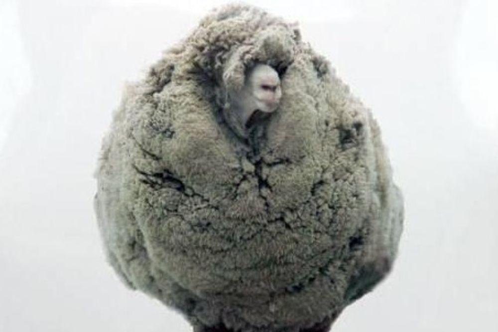 NIJE HTELA NA ŠIŠANJE: Ovca sa 20 kilograma vune