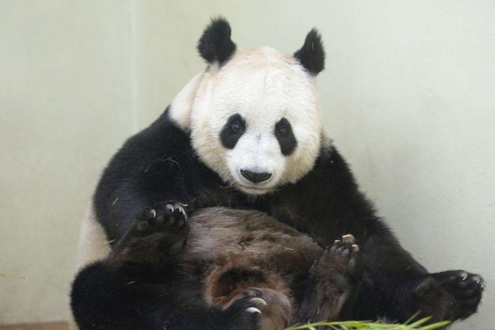 PAMETNICA: Panda lažirala trudnoću kako bi dobila bolju hranu!