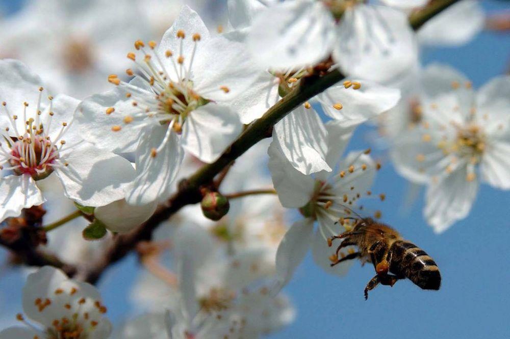 ČUDO U PRIJEPOLJU: Kruške jerbasme procvetale u Hisardžiku