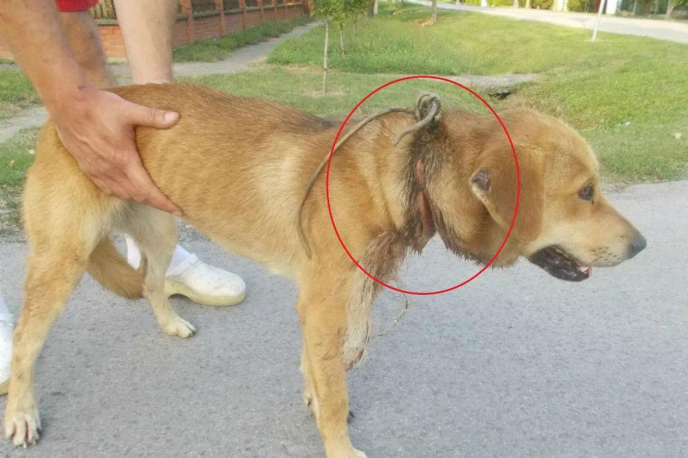 LUTALA BESPOMOĆNA 6 MESECI: Spasena kuca sa uraslom žicom oko vrata nadomak Novog Sada!