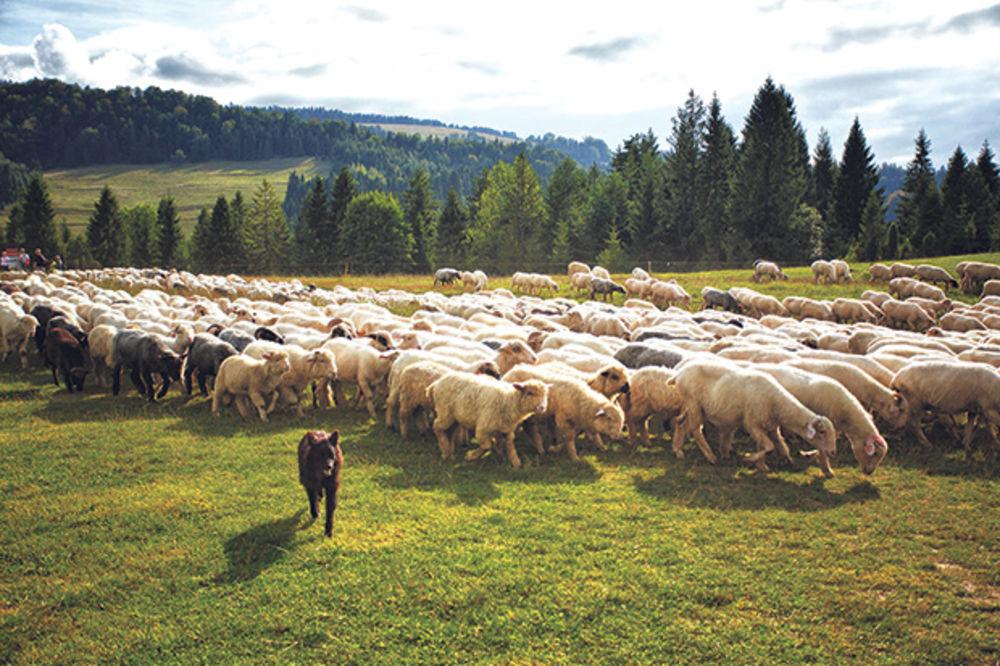 Pas čuva stado ovaca pomoću matematike
