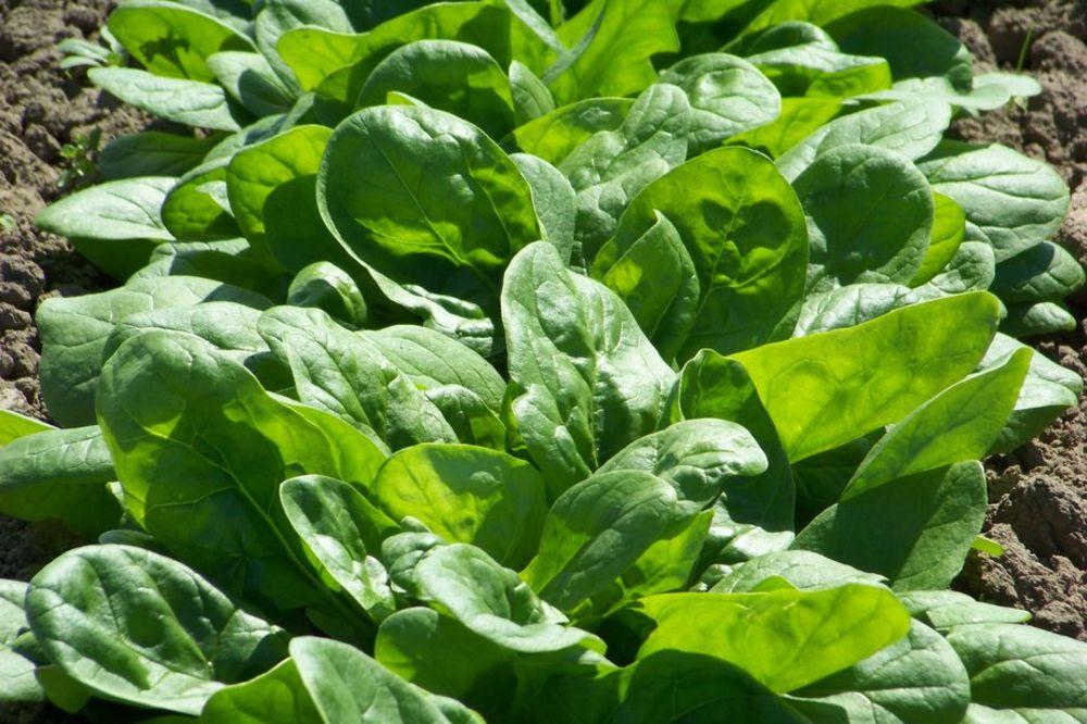 Jesenja proizvodnja spanaća na otvorenom polju