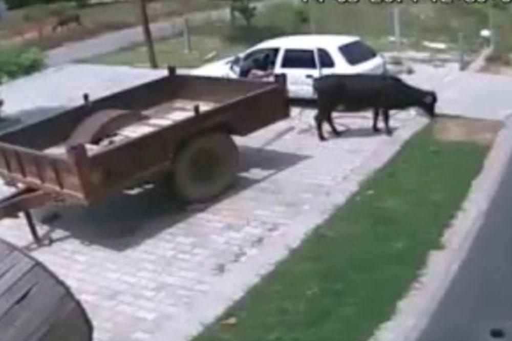 (VIDEO) Ukrali kravu za samo 60 sekundi!