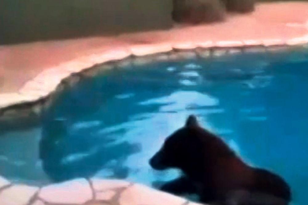Panika u Kaliforniji: Medved se kupao u bazenu