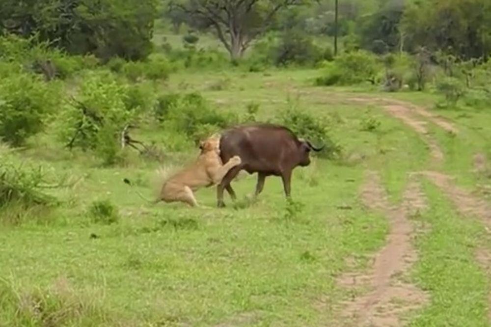 (VIDEO) Lav savladao bizona i krenuo da ga jede, ali onda se dogodilo nešto neverovatno!