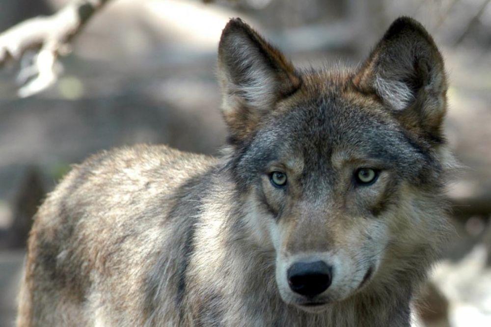DRŽAO OPASNU ŽIVOTINJU U STANU: Kada su došli da mu oduzmu vuka, pustio ga na Goliju