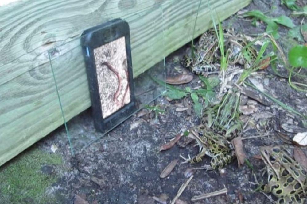 (VIDEO) Zašto su sve žabe iz dvorišta navalile na ajfon?