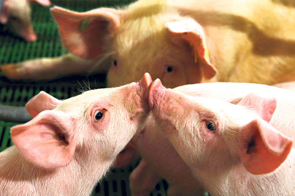 DRŽAVA POMAŽE STOČARIMA: Zaštitne mere za uvoz mleka i svinja