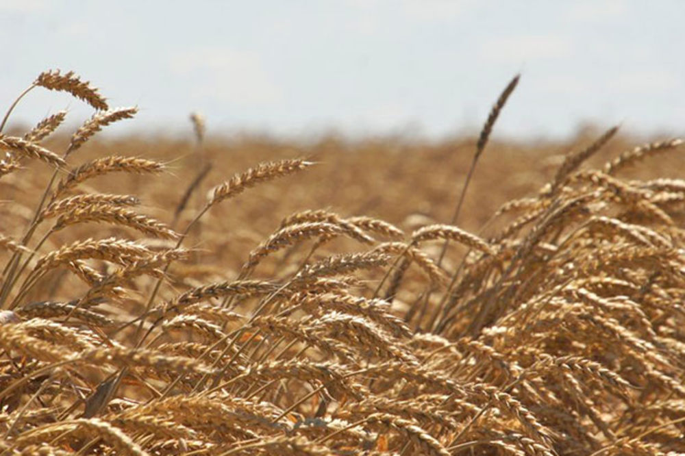 Strna žita - od njive do trpeze