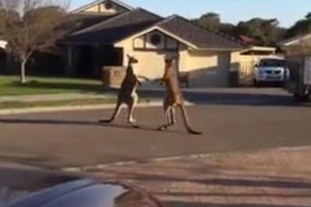 OBIČNO JUTRO U AUSTRALIJI: Žestok boks meče nasred ulice!