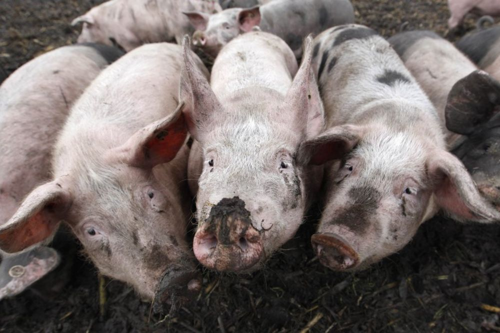 SLAMKA SPASA: Umesto Rusa, Kinezi će uvoziti austrijske svinje!