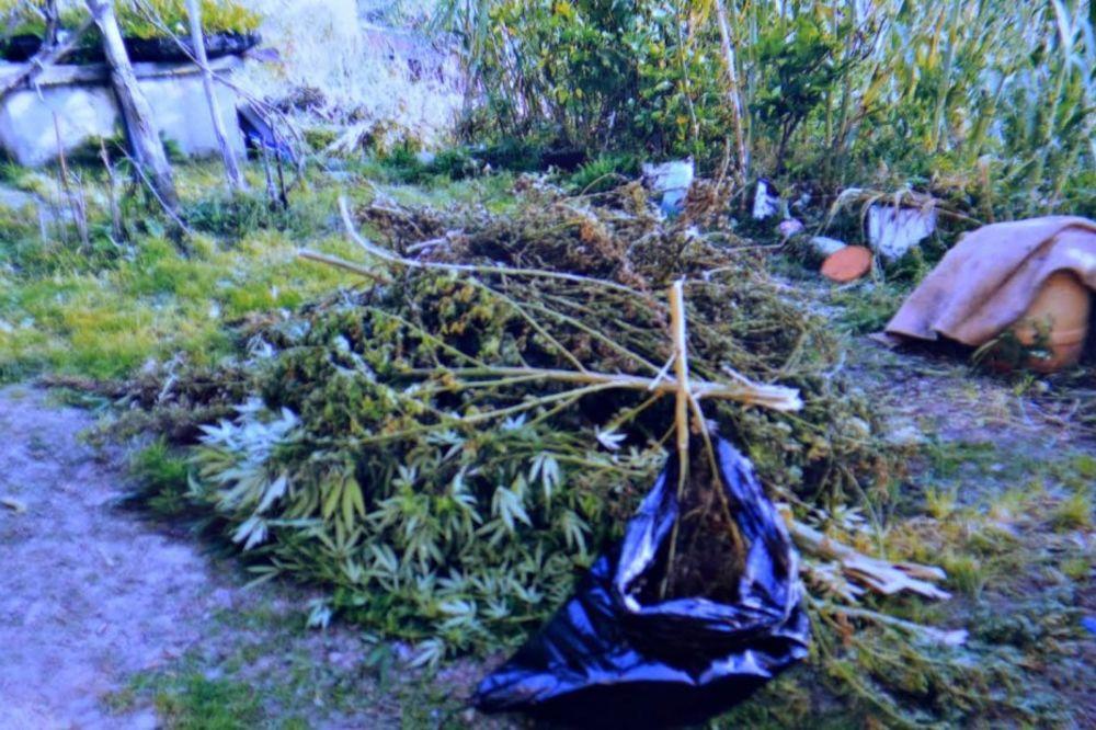 AKCIJA POLICIJE U RIPNJU: Zaplenjeno 17 kilograma marihuane!