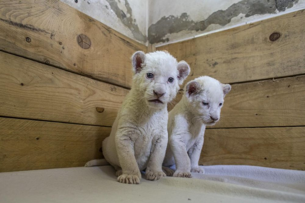 (FOTO) PRINOVA U VRTU DOBRE NADE: Bogatiji smo za dva mladunčeta belih lavova!
