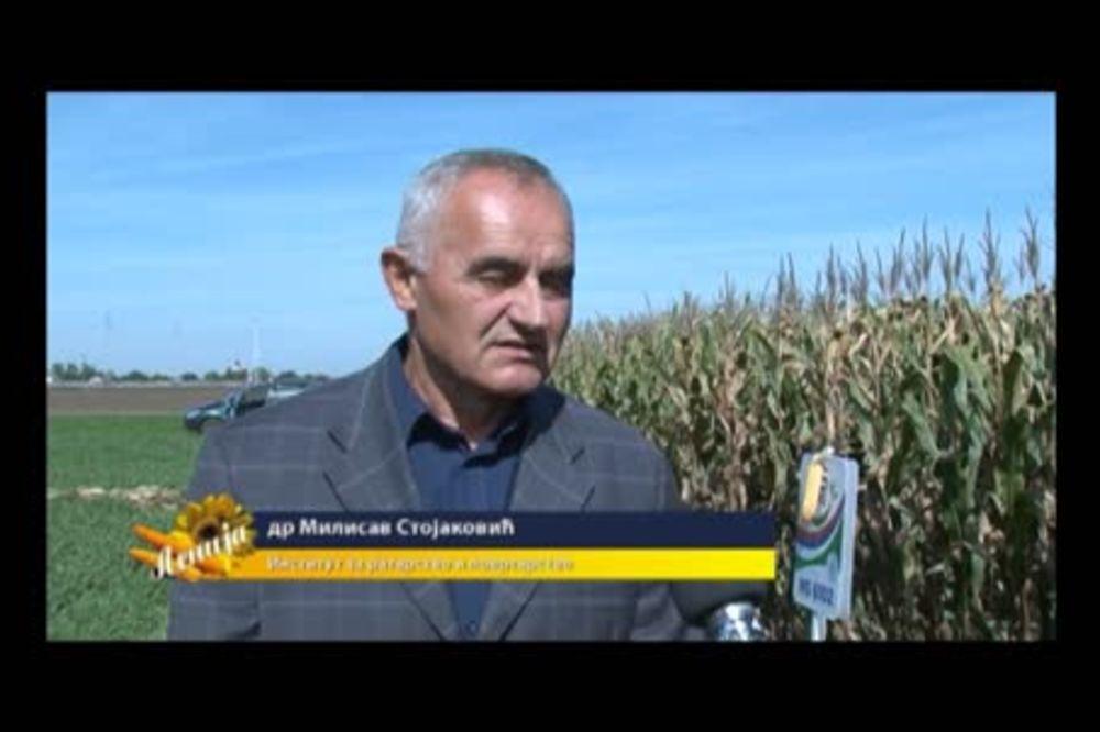Dr Milisav Stojaković o berbi kukuruza 2014. godine